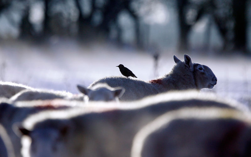 A starling perches on the back of a sheep as freezing temperatures and heavy snow continues to cause chaos across the United Kingdom, in Glenravel Glen, 50 miles (80 km) north of Belfast, December 4, 2010. (REUTERS)