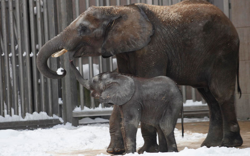 Five-month old African elephant calf Tuluba and its mother Numbi eat some snow in their enclosure at Schoenbrunn zoo in Vienna, December 4, 2010. The Austrian capital was hit by heavy snowfall on Friday causing traffic disruptions and closing some motorways.  (REUTERS)
