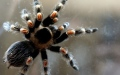 Photo: Husband buys tarantula to stop arachnophobic mother-in-law coming over