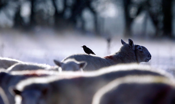 A starling perches on the back of a sheep as freezing temperatures and heavy snow continues to cause chaos across the United Kingdom, in Glenravel Glen, 50 miles (80 km) north of Belfast. (REUTERS)