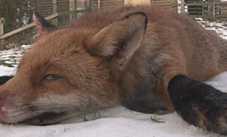 Britain's 'biggest ever fox' caught, killed - Emirates 24|7