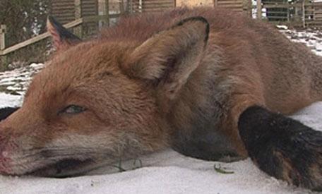 Aninimal Book: Britain's 'biggest ever fox' caught, killed - Emirates 24|7
