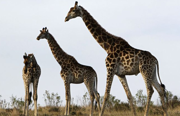 The world's tallest animal on land is the giraffe. The average male giraffe weighs about 2,600 lbs. and is between 14 and 17 ft. tall. The tallest on record was 20 ft. tall. (REUTERS)
