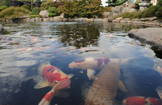 Koi fish robberies rocks flanders emirates 24 7 for Large koi carp