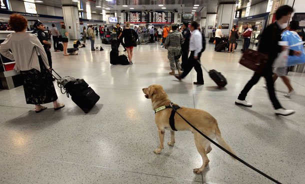"Amtrak Police K9 Lex patrols Penn Station September 9, 2011 in New York City. A 4-year-old yellow Labrador Retriever, Lex is trained and certified in ""Vapor Wake"" explosive tracking and detection. US government officials said yesterday evening that there is a ""specific, credible but unconfirmed threat"" to the US homeland as the 9/11 anniversary approaches and that New York and Washington were specifically mentioned as possible targets.(AFP)"