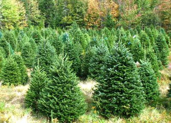 Pick A Real Christmas Tree