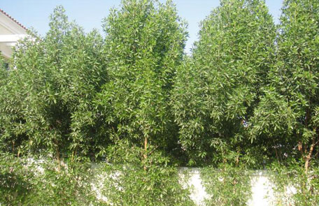 The Damas tree grows quickly and its roots are strong and unwieldly. (SUPPLIED)