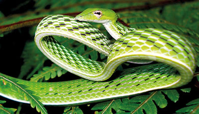 The Ahaetulla Nasuta or green vine snake.