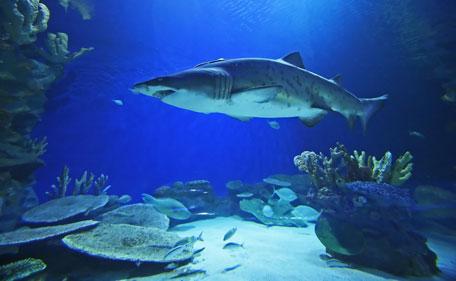 Largest Range Of Shark Species To Be Displayed At Dubai Aquarium News Emirates Emirates24 7