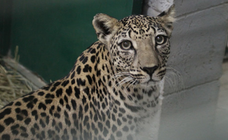 Lubna was female Arabian leopard living in Al Bustan Zoological Centre in Sharjah. (Supplied)