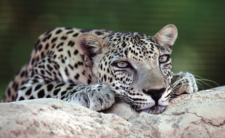 Qais is a critically endangered Arabian leopard adopted in September 2008. (Supplied)