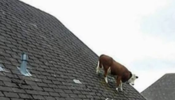 Cow Gets Stuck On Roof How Did It Get There Emirates