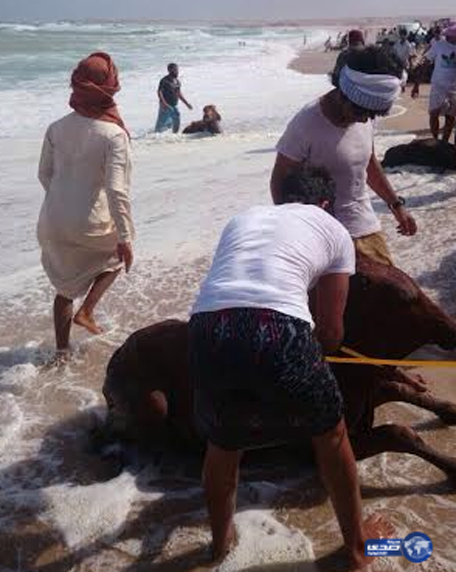 Cows were aboard a cargo vessel which sank in Oman's territorial water. (Supplied)