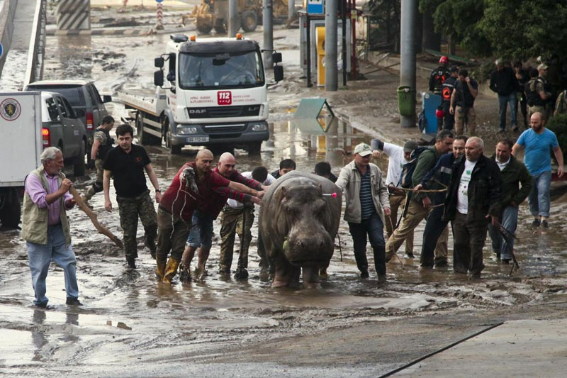 People help a hippopotamus escape from a flooded zoo in Tbilisi, Georgia on Sunday, June 14, 2015. (AP)