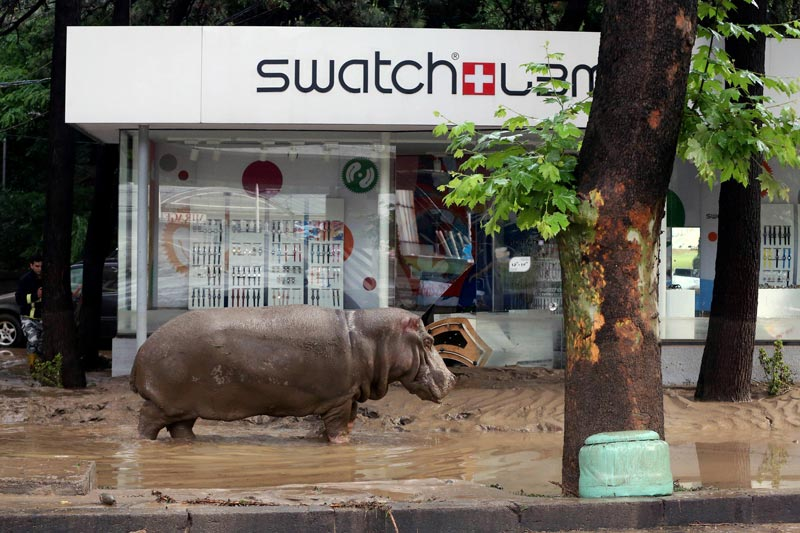 A hippopotamus walks along a flooded street in Tbilisi on June 14, 2015 (AFP)
