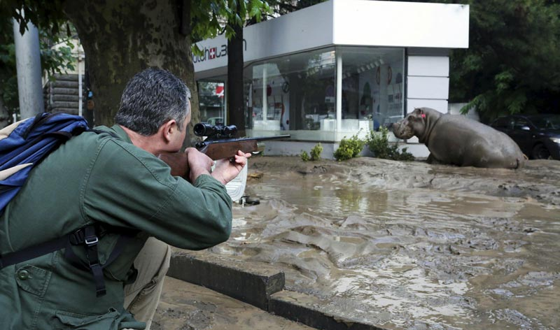 A man shoots a tranquilizer dart to put a hippopotamus to sleep at a flooded street in Tbilisi, Georgia, June 14, 2015. (Reuters)