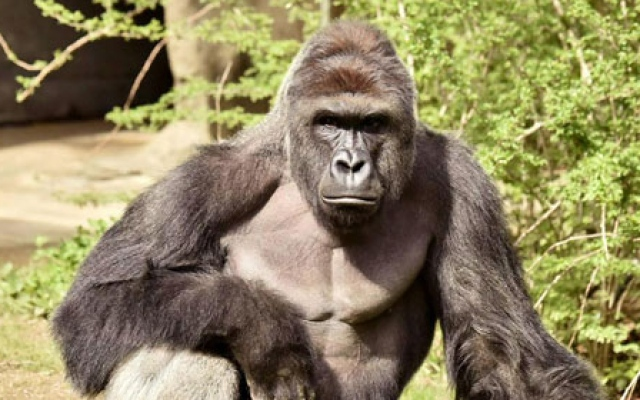 Video: Boy falls into gorilla pen at zoo and is grabbed by huge primate
