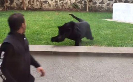 Panther Attacking Animal Panther attacks man fr...