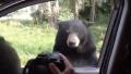 Photo: Bear family helps itself to chocolate inside car