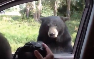 Photo: Bear family helps itself to chocolate inside car