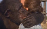 Photo: Chimps don't forget: Woman's emotional reunion