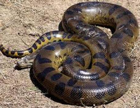 Gift for groom — giant snake - Emirates 24|7 - photo#15
