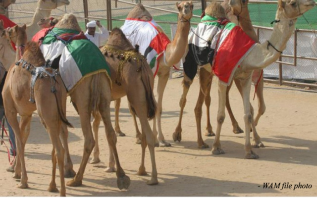 National Day Camel Marathon to take place in Dubai on Saturday