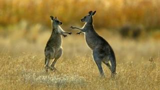 Photo: Australian man jailed for brutal killing of kangaroo in filmed attack