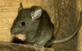 Photo: World's first human case of rat disease found in Hong Kong