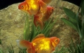 Photo: Goldfish becomes flesh-eating cannibal