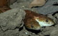 Photo: Rare snake with 2 heads found in Virginia has died