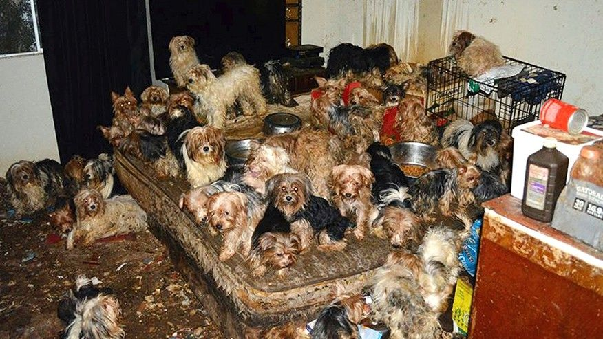 Couple pleads guilty to hoarding 170 yorkies - Emirates24|7