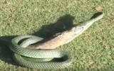 Photo: Snake devours 24ft-long lizard in just five minutes