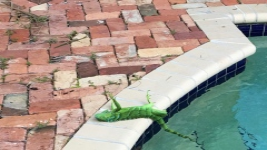 Photo: Florida residents warned about falling iguanas