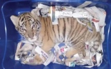 Photo: Someone tried to mail a tiger cub