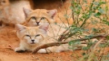 الصورة: Al Ain Zoo continues Arabian sand cat conservation efforts
