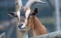 Photo: Goats can perceive human expressions