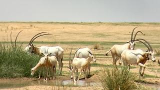 الصورة: Sahelian plains of Chad welcome 40 Scimitar-horned Oryx calves in 2018