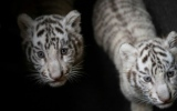 Photo: China purrs over white tiger triplets