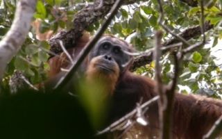 Photo: China-backed hydro dam threatens world's rarest orangutan