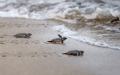 Photo: Flippin' hard: Myanmar's sea turtles fight against the odds