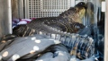 Photo: Surprise: Large alligator found in hot tub