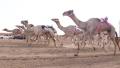 Photo: Sultan bin Zayed attends camel race