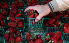 Photo: Strawberry Needle Contamination -  ex-farm supervisor charged