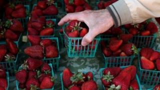 Photo: Strawberry Needle Contamination -  ex-farm supervisor charged