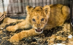 Photo: Lion cub found inside luxury car in Paris