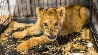 Photo: Lion cub found inside luxury car in Paris