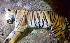 Photo: Cubs of Indian tiger shot in controversial hunt spotted alive