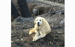 Photo: Dog that survived California wildfire guarded home for weeks