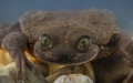 Photo: Romeo and Juliet: the last hopes to save Bolivian aquatic frog